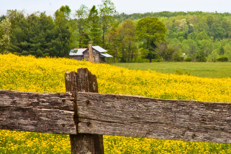 Field of Buttercups, North Carolina