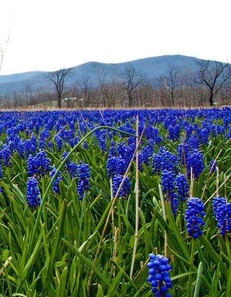 Field of Grape Hyacinths2-1