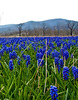 Field of Grape Hyacinths2-1
