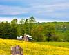 Field of Buttercups, North Carolina
