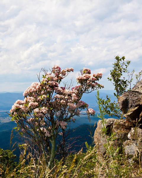 Mountain Laurel on the Skyline Drive