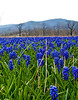 Field of grape hyacinths near Columbia Furnace