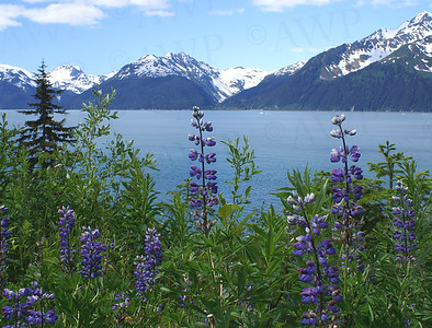 Lupine And Ocean