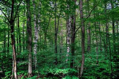 Tranquillity --Summer Forest, Souther Vermont
