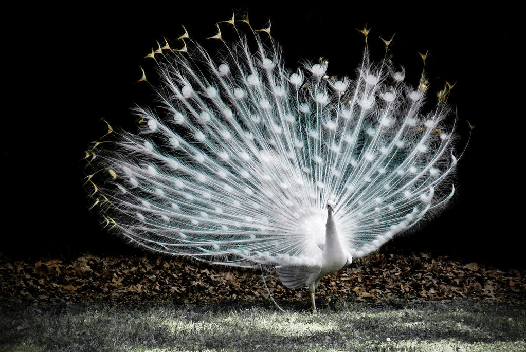 peacock-After