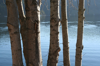 Trees at Lake Coeur d' Alene