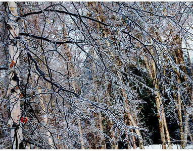 Ice Encrusted White Birch Branches