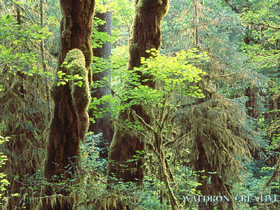 Hoh Rain Forest, Olympia National Park, Washington