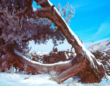 Fallen Juniper, Craters of the Moon, Idaho