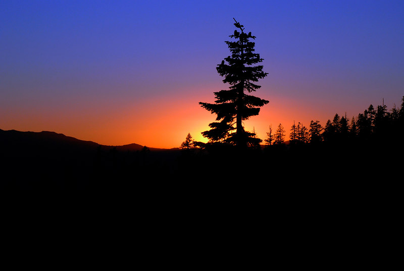 Silhouette Pine at Sunset