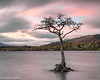 Loch Lomond tree 3/3