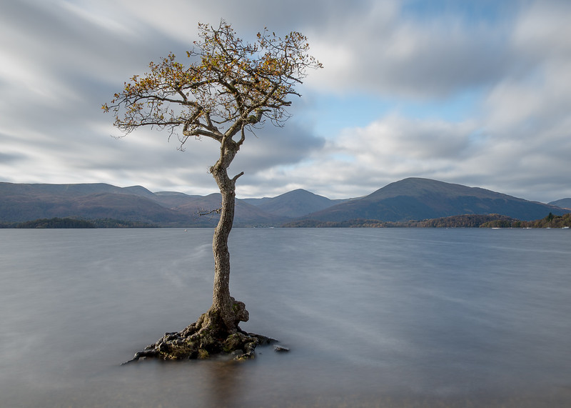 Loch Lomond tree 1/3