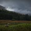 Grazing moorland sheep