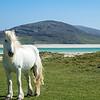 Luskentyre pony
