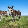 Northton Donkeys