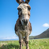 Northton Donkey