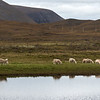 Sheep on the Isle of Hoy