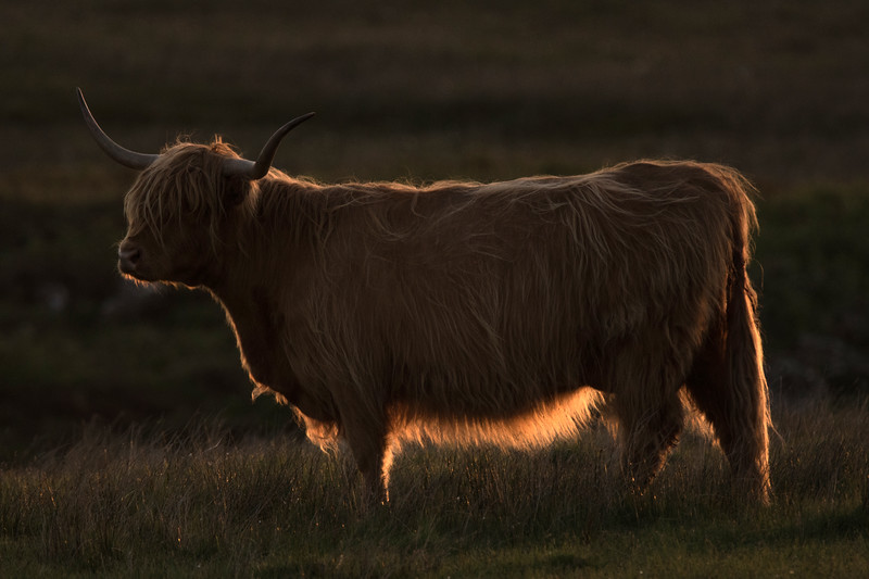 Highland Cattle near Oskamull