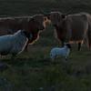 Highland Cattle near Oskamull