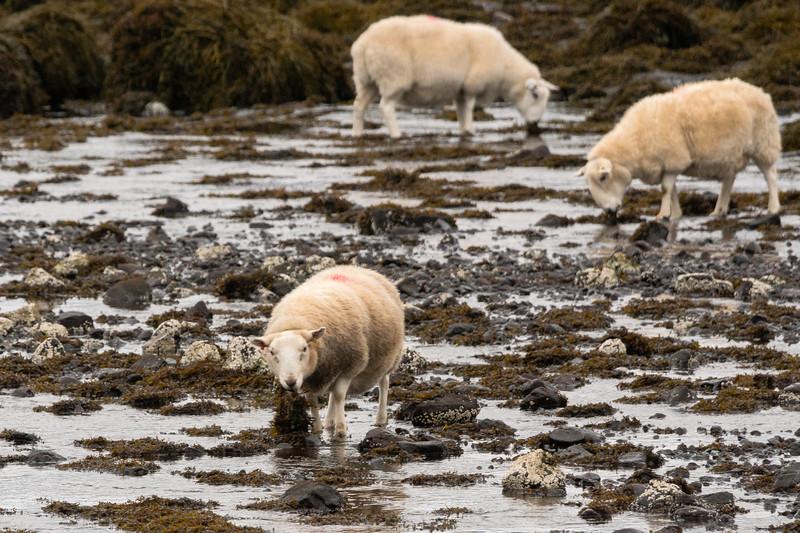 Seaweed sheep, Dunvegan