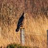 Bird of prey on the Glendale road