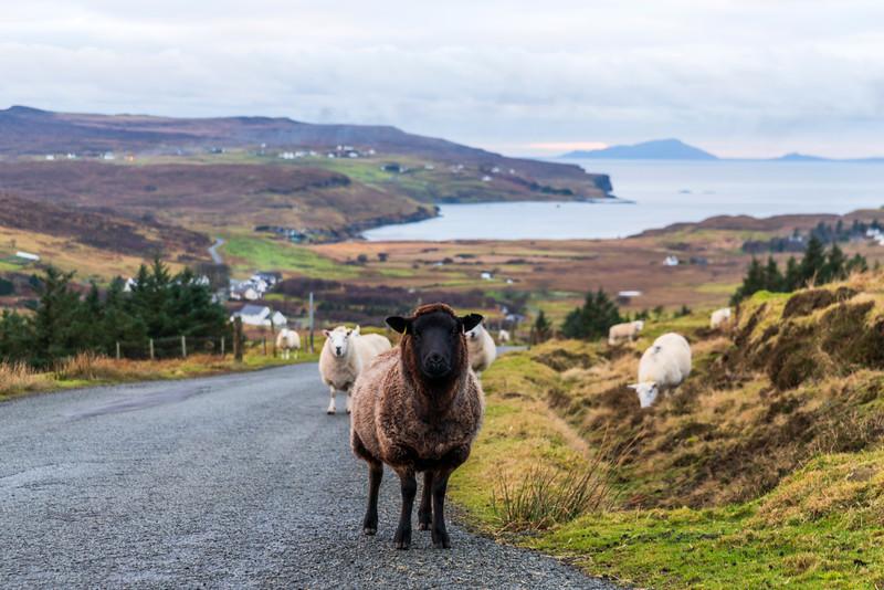 Glendale sheep, near Milovaig
