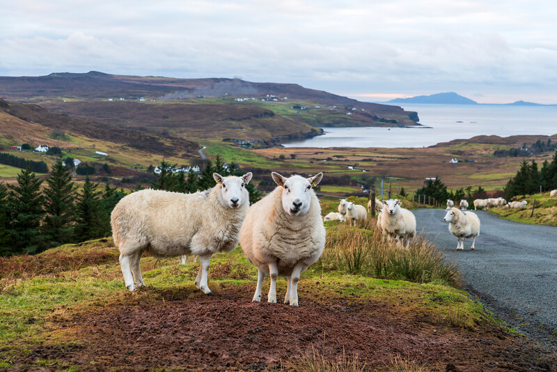 Glendale sheep, near Milovaig