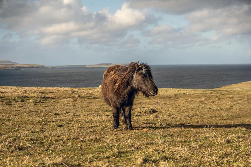 Hannigarth Resident Shetland Pony. May 2016