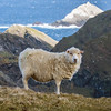 Hermaness Sheep, Unst