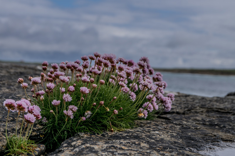 Grobust, Westray. June 2015