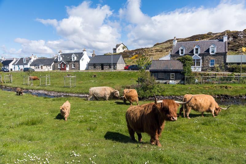 Durinish Cattle