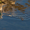Kylerhea otter