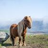 Shetland Pony, West Burra, Shetland. May 2016