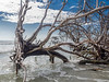 Trees Becoming Driftwood, Little Talbot Island