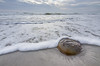 Horseshoe Crab in the Surf