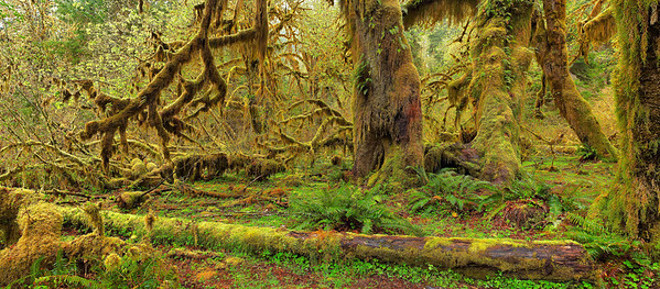 """Hall of Mosses"" When Spring comes to the Hoh Rainforest, the mosses that clothe every available surface emerge from dormancy in many shades of gold, lime and rust."