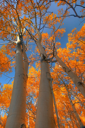 Looking Up At Autumn - North Lake, Eastern Sierras, California