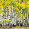 A Closer Look At The Base Of Aspens - Methow Valley, Washington State