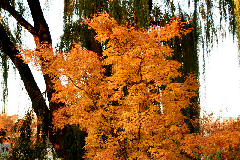 fall foliage5 (red,orange)