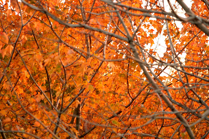 fall foliage10(orange)