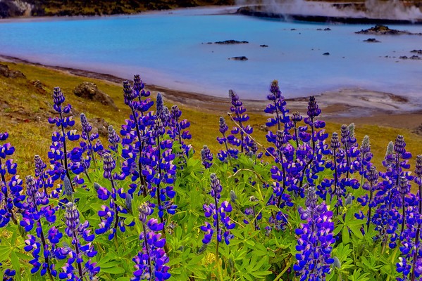 Complementary Flora - The Blue Lagoon - Reykjanes, West Iceland