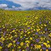 Dreams Of Wildflowers - Carrizo Plain National Monument, California