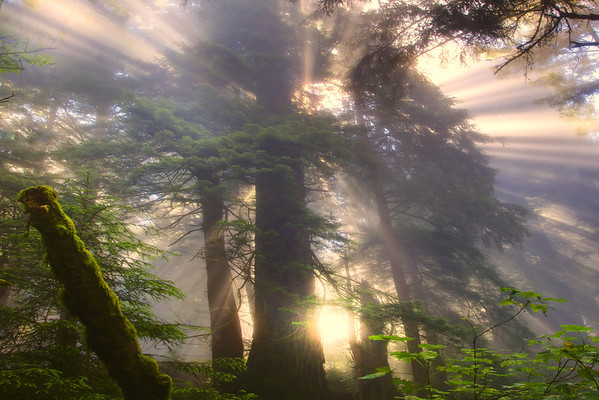 Bursting Glow Of Light - Redwoods, California
