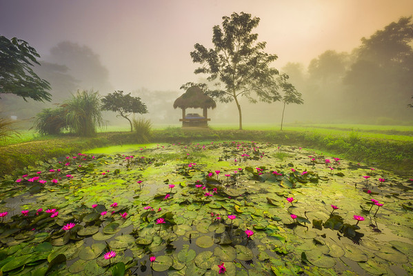 Liily Pond in Early Morning Mist Kaziranga National Park, Assam, North-Eastern India