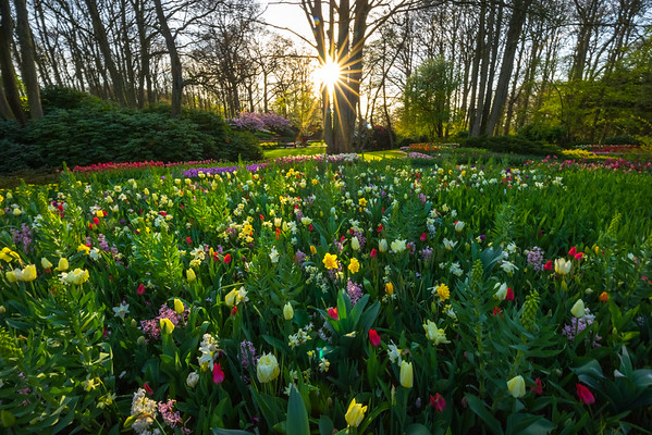 A Bouquet Of Tulip Sunsets