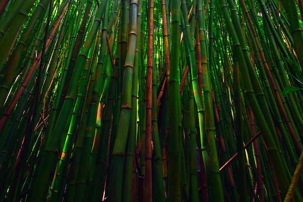 Bamboo Forest, Pipiwai Trail -  Haleakala National Park, Maui, Hawaii