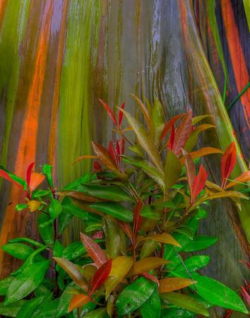 Eucalyptus Flora - Hana Highway, Maui, Hawaii