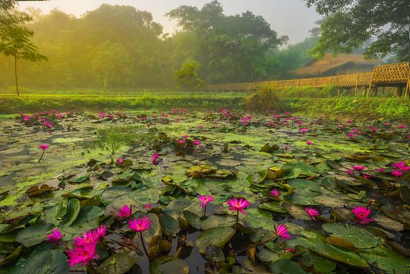 Lily Pond Peak In Morning Light Kaziranga National Park, Assam, North-Eastern India