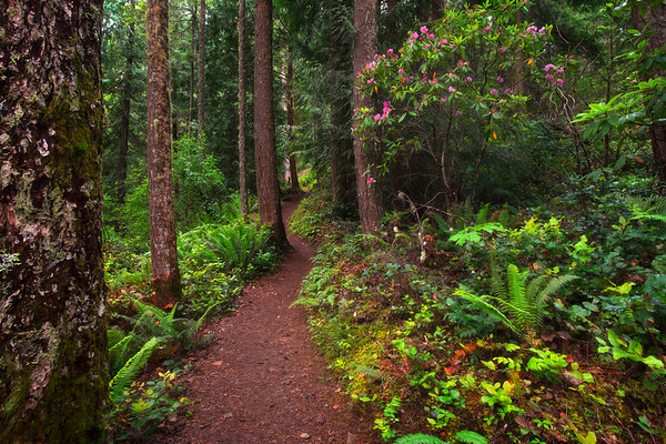 Along The Mount Wallker Trail In Rhododendron Season - Mount Walker Trail, Olympic National Forest, WA