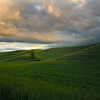 Lone Tree In Sunset Light - The Palouse Region, Washington